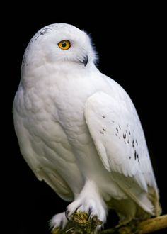 βℓαᏣƙ Ɓαcкgяσυη∂ (Snowy owl   par Tambako the Jaguar)