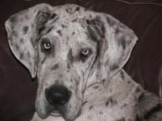 Milo is an adoptable Great Dane Dog in Jasper, TN. MIlo is 1.5 years old. He is a tall beautiful boy. It will be almost impossible for us to let him leave the rescue because he is such a great boy. He...