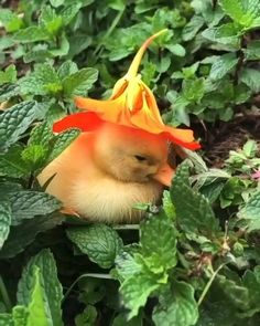 Pet Ducks, Baby Ducks, Cute Little Animals, Cute Funny Animals, Baby Animals Pictures, Animals And Pets, Farm Animals, Dog Brothers, Mint Garden