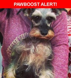 Please spread the word! Star was last seen in Hollywood, FL 33027.  Description: 12 year old Miniature Schanauzer. Please call us with any information. 305-202-1332  Nearest Address: Bellagio At Vizcaya, Miramar, FL, United States