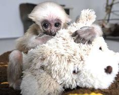 Pileated gibbons This species of gibbon is native to Thailand, Cambodia and Laos, and today about 32,000