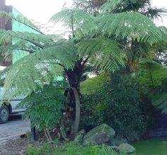 Cyathea medullaris (Mamaku. Black tree fern) - Fronds New Zealand, suppliers of native New Zealand ferns, nz plants, nz trees, nz shrubs, landscaping ferns, nz ponga, nz ferns, exotic ferns, nz tree ferns, nz ground ferns, nz ponga pots, nz ponga troughs.