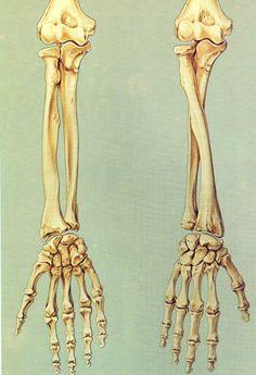 Arm bone