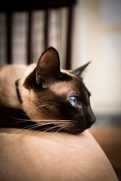 This Siamese cat is beautiful. :) I love the stark contrast between the dark brown fur and the sparkling blue eyes!