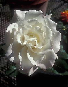 Pascali, aka Blanche Pasca - hybrid tea rose - one of the greatest of the white hybrid tea roses