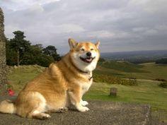 My Corgi-Shiba mix grinning in the countryside - Imgur