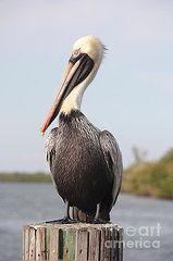 Pelican Photographs - Pelican Pose  by Carol Groenen
