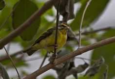 The Green Singing Finch (Serinus mozambicus) is native to most of Africa south of the Sahara.