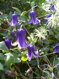 Rooguchi Clematis blooms midsummer and again early fall. Attracts hummingbirds.  Deer  and rabbit resistant. Grows in Full sun (> 6 hrs. direct sun) or  partly shaded (4-6 hrs. direct sun) spots. Grows in all types of soil.