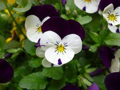 Flower (White & Violet)