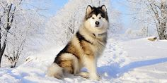 :#AlaskanMalamute information including #dogBehaviour, Facts of Alaskan malamute #dogbreed, Photos, Temperament, training of Alaskan malamute, shedding, coat, health and care and much more. For more information on Indian Dog Breeds visit http://www.dogexpress.in/