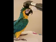 Talkative Parrot Vocally Expresses How Much He Really Enjoys Being Gently Vacuumed By His Human