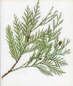 western red cedar botanical illustration modern - Google Search
