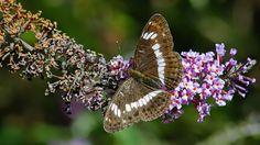 Suomen Perhoset Kuusamaperhonen » Suomen Perhoset Camilla, Butterflies, Scenery, Wildlife, Nature, Animals, Naturaleza, Animais, Animales