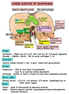 Instant Anatomy - Thorax - Areas/Organs - Diaphragm - Topography