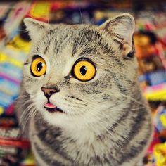 Melissa le chat à la langue tirée