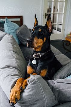 The Doberman Pinscher is among the most popular breed of dogs in the world. Known for its intelligence and loyalty, the Pinscher is both a police- favorite Weimaraner, Perro Doberman Pinscher, I Love Dogs, Cute Dogs, Doberman Love, Doberman Pups For Sale, Doberman Puppy Red, Black Doberman, Amor Animal