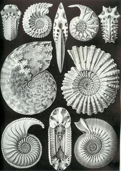 Can't get much better than Hackel's ammonites, in terms of illustration value. There are a few old interpretations of them as living creatures out there that look basically like the nautilus. Despite this, they're more closely related to the extant coleoids - the squid, octopuses, and cuttlefish.    Kunstformen der Natur. Ernst Haeckel, 1904.