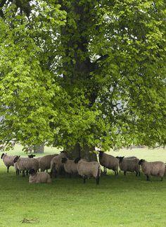 Sheep under a tree