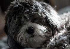 Darth Puppy