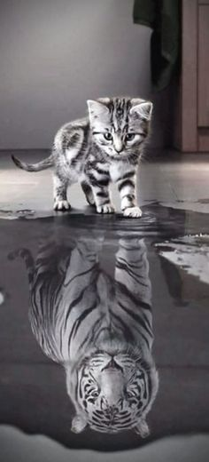 #CaT #LioN #RefleCtion A Lot of #BeauTy #PiCs and Smart #TiPs. FolloW Please! Meow! https://www.pinterest.com/moycomp