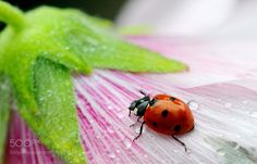 Coccinella ..... by AngeloBalange #nature #photooftheday #amazing #picoftheday