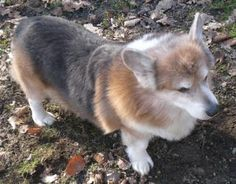 Welsh Corgi News - Bluies/blueys