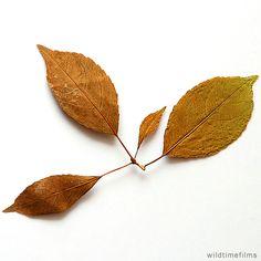 Dried leaves.