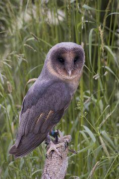 Melanistic Barn Owl by simon_redwood, via Flickr