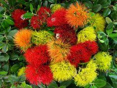 Ohia Lehua flower, metrosideros polymorpha flowers, collected from various locations in waimea, south kohala district, hawaii county