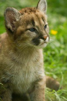 Puma cub- what a sweet little face!