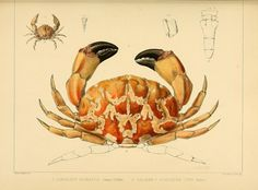 "https://flic.kr/p/dGKjh2 | n366_w1150 | The Zoology of the voyage of H.M.S. Samarang, under the command of Captain Sir Edward Belcher, C.B., F.R.A.S., F.G.S., during the years 1843-1846 /. London :Reeve and Benham,1850 [i.e. 1848-1850]. <a href=""http://biodiversitylibrary.org/page/39771172"" rel=""nofollow"">biodiversitylibrary.org/page/39771172</a>"