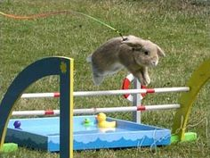 There's a competition in Sweden called Kaninhoppning, or rabbit show jumping. It's real http://www.youtube.com/watch?v=7J2uIBivmKM