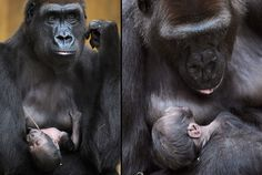 Gorilla mother Melima holds her four-day-old baby at Hanover Zoo in GermanyPicture: EPA/HOLGER HOLLEMANN