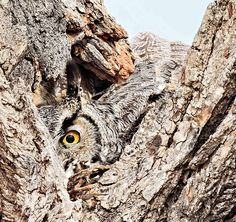 """great horned owl photo, which won first place in the """"birds"""" category of the National Wildlife Federation 2015 contest. See other great photos from the Federation's contest/ Owl Photos, Great Photos, Beautiful Owl, Animals Beautiful, Photography Awards, Wildlife Photography, Amazing Photography, Owl Bird, Pet Birds"""