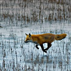 Red Fox by Kelly & Robert Walters