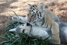 Wrestling Wolf and Tiger Cubs