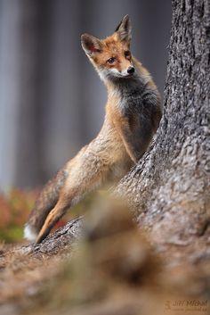 "Fox - See my website: <a href=""http://www.jmichal.cz"">www.jmichal.cz</a>  info about photo: <a href=""http://1url.cz/zxMq"">1url.cz/zxMq</a>"