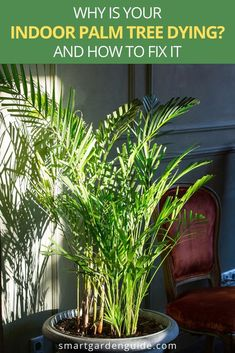 If your indoor palm tree is dying, this article can help you identify the cause and fix your plant. A little detective work will soon identify the reason why your palm tree is struggling and help you nurse it back to health. Palm House Plants, Potted Palm Trees, Indoor Palm Trees, Potted Palms, Indoor Palms, Palm Tree Plant, Indoor Flowers, Areca Palm Care, Palm Plant Care