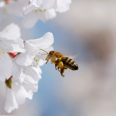 Shifting bee season could disrupt pollination. Good job Monsanto!