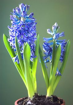 Hyacinth Flowers Bulb Intensely Sweet Fragrant Blue Flowers - 2 Healthy Bulbs