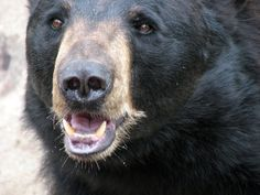 ours noir Bear Face, Black Bear, Animals, Image, American Black Bear, Animales, Animaux, Animal, Animais