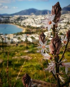 #photo #photos#pic #bodrum My Photo Album, Photo S, Dandelion, My Photos, Flowers, Plants, Dandelions, Plant, Taraxacum Officinale