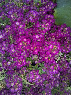 Sweet Alyssum - Lobularia - Purple  great border plant and it works well in containers, full sun to part sun flowers all summer