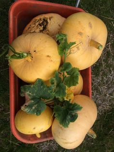 Pumpkins harvested on the farm :-)