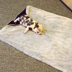 Rescue Pig Can't Stop Running ... Until She Feels Softness ... Now what makes it okay to eat piggies again? (nothing, once you know better ...)