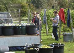 Madeleine Angevine harvest 2013 at Oatley Vineyard (Somerset), loading the trailer