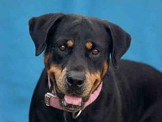 8/2017 Rottweiler Dog for adoption in Downey, California - ROXY