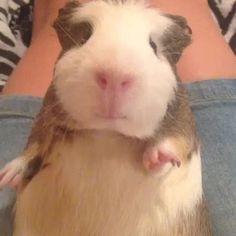 Prince Guinea Pig ea