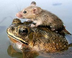 """Frog,"""" said the mouse. """"You are quite welcome,"""" said the frog."""" """"That's what friends are for,"""" said the frog. Unusual Animal Friendships, Unlikely Animal Friends, Unusual Animals, Animals Beautiful, Beautiful Creatures, Animals And Pets, Funny Animals, Cute Animals, Odd Animals"""